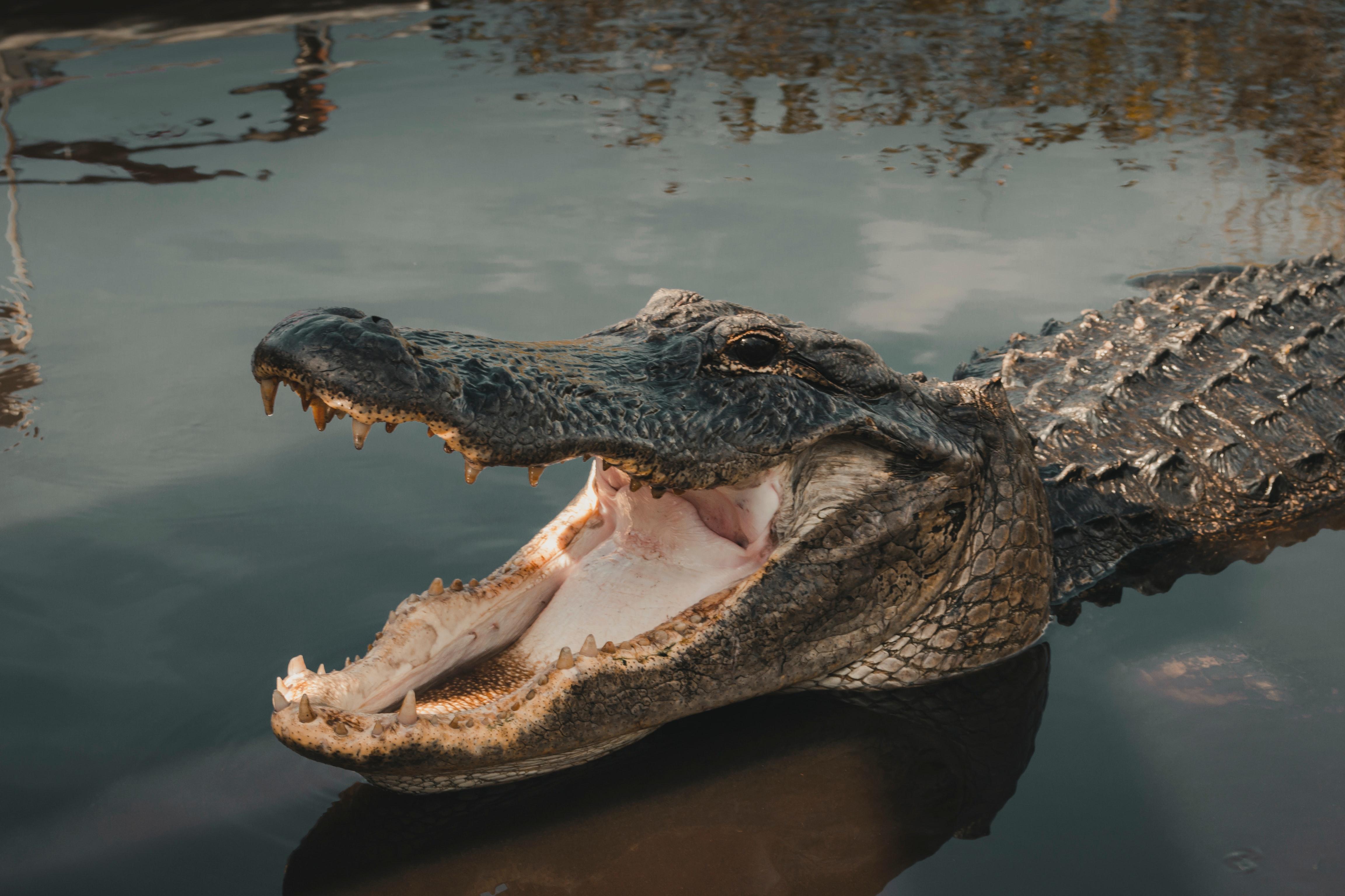 alligator rebecca renner